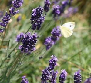 Lavendenl