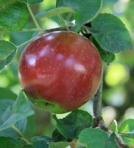 Apfel1