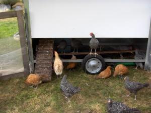 Fahrbarer Hühnerstallhinten